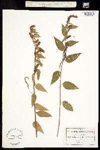 Image of Acalypha adenostachya