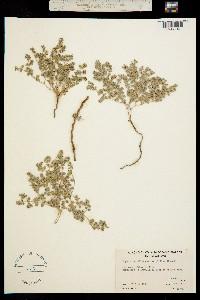 Image of Chamaesyce vallis-mortae