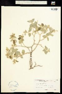Croton sonorae image