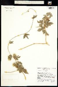 Dalechampia scandens image