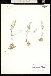 Image of Schivereckia doerfleri