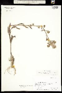Image of Rorippa barbareifolia