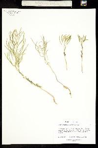 Thelypodium paniculatum image