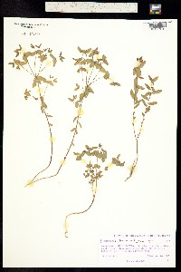 Euphorbia trachysperma image