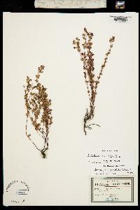Chamaesyce anychioides image