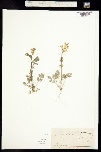Corydalis aurea subsp. occidentalis image