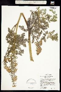 Image of Corydalis aquae-gelidae
