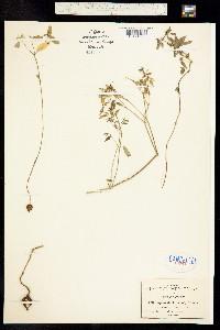 Image of Euphorbia biformis