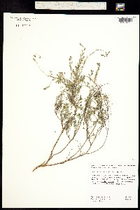 Image of Phyllanthus polygonoides