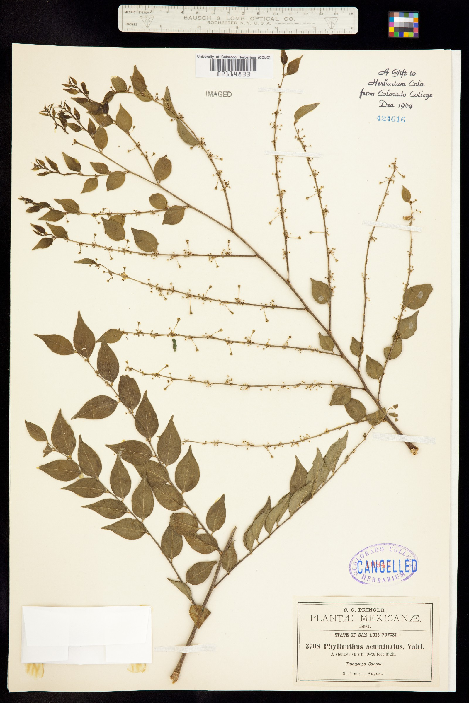 Phyllanthus acuminatus image