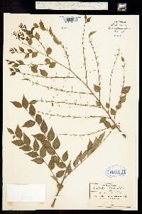Image of Phyllanthus acuminatus