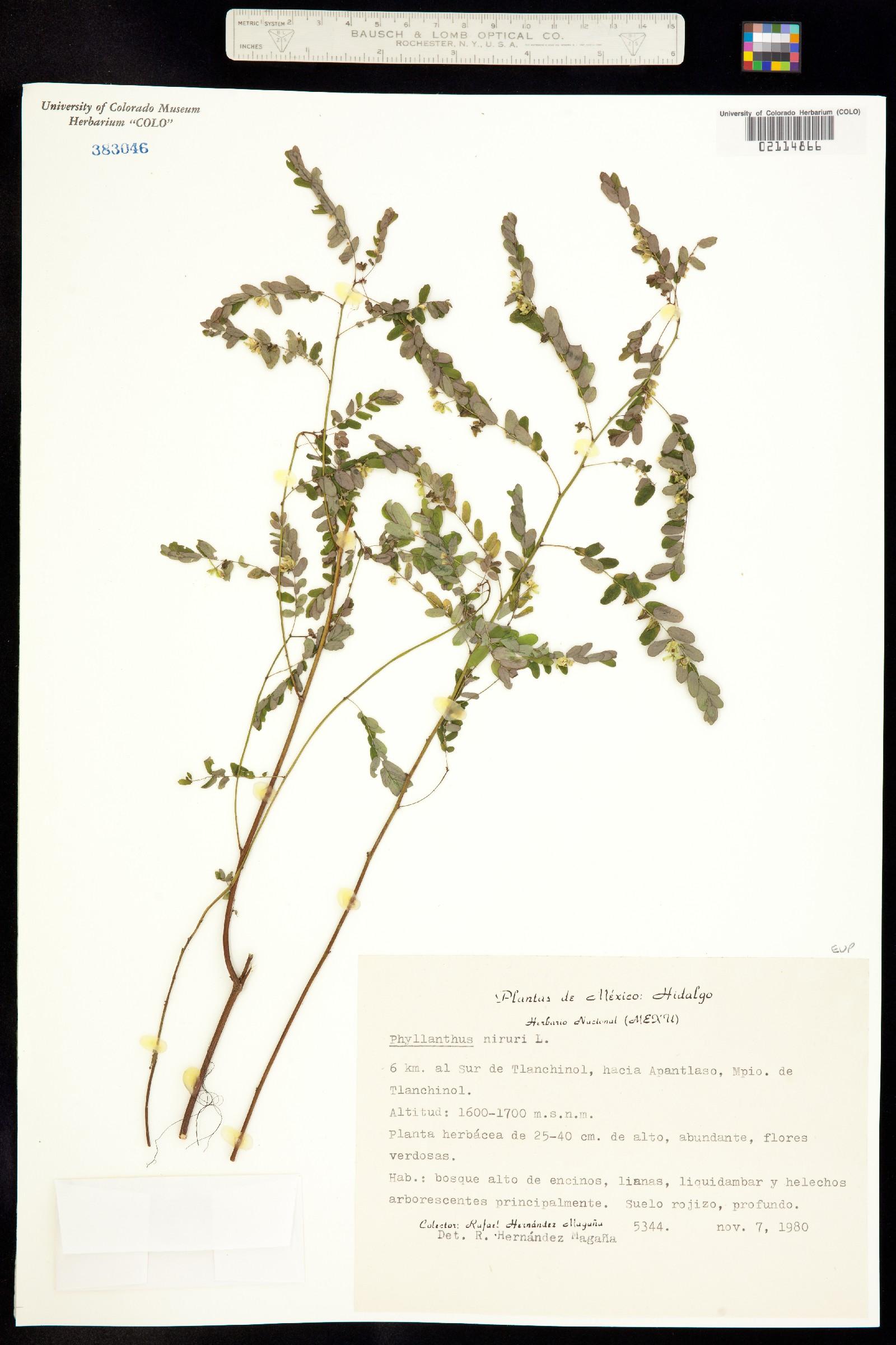 Phyllanthus niruri image