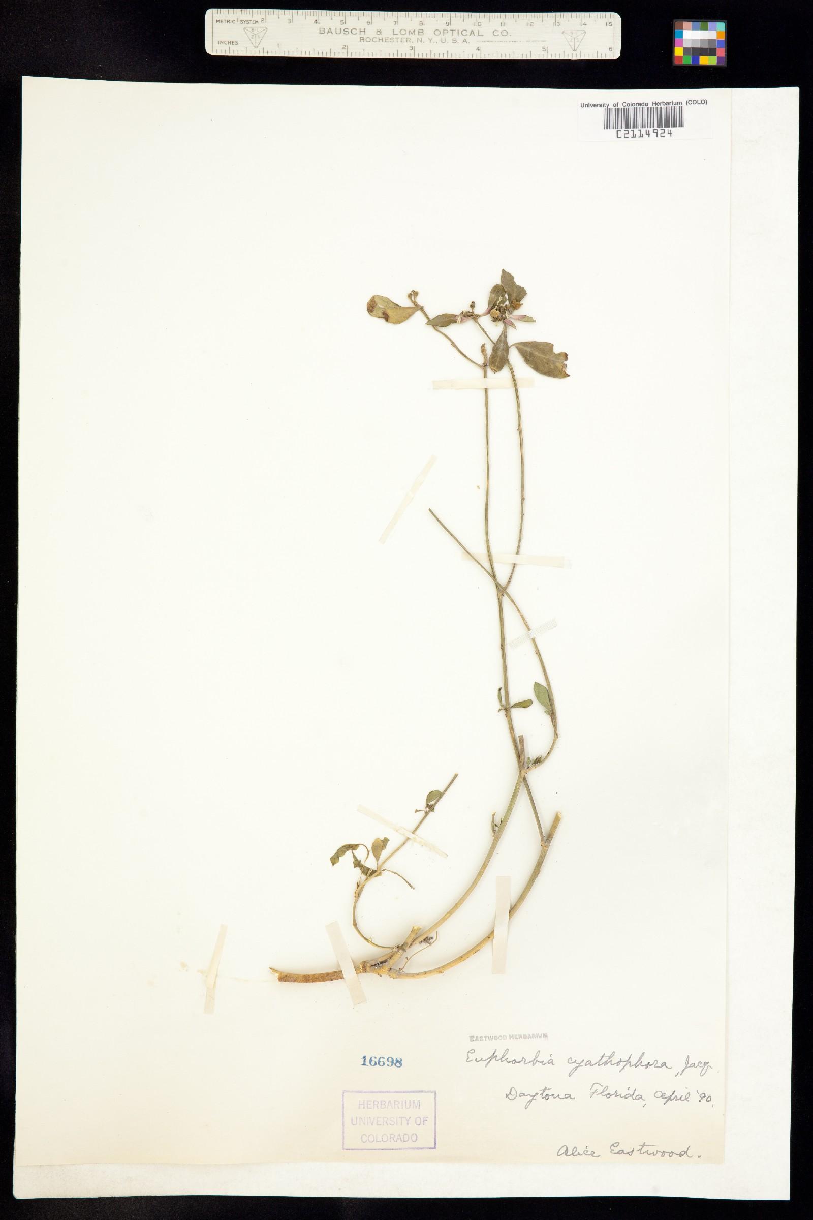Poinsettia cyathophora image