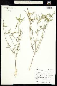 Poinsettia dentata image