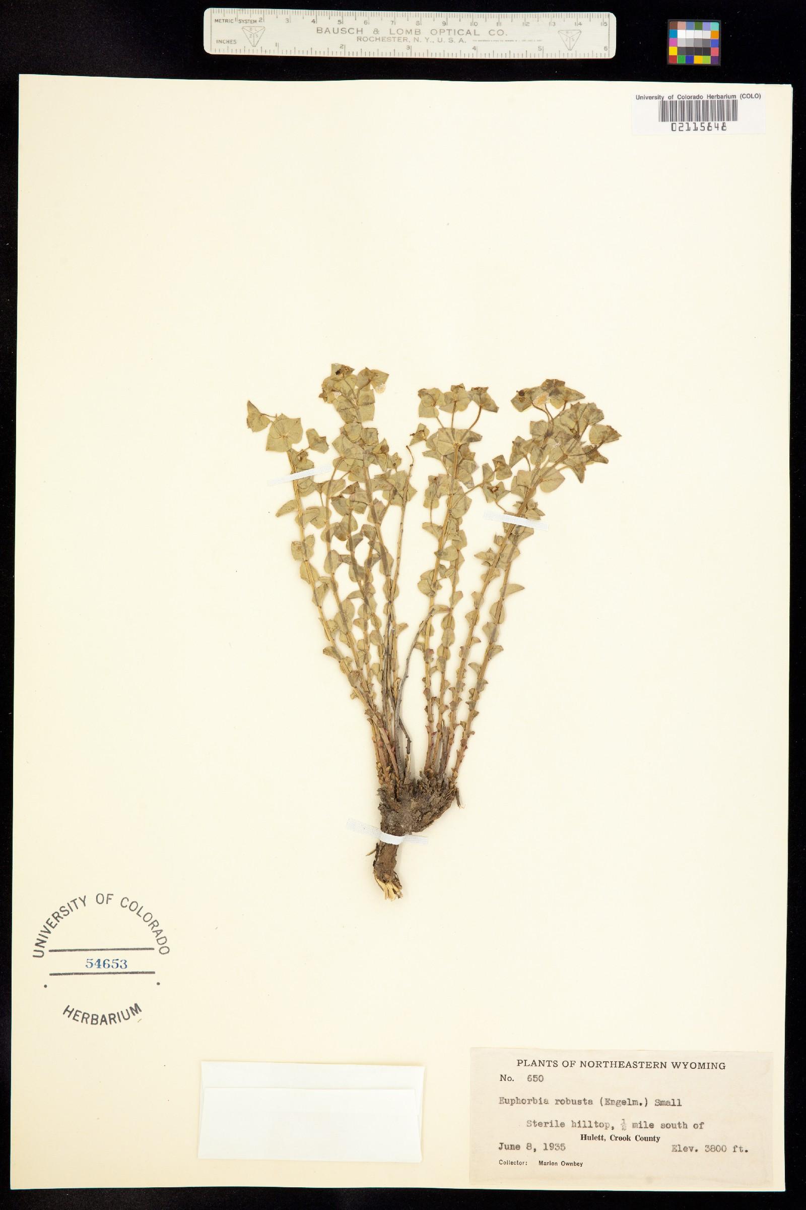 Tithymalus montanus image