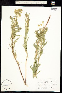 Tithymalus uralensis image