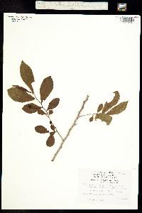 Casearia nitida image