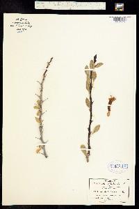 Fouquieria formosa image