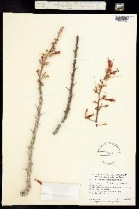Fouquieria peninsularis image