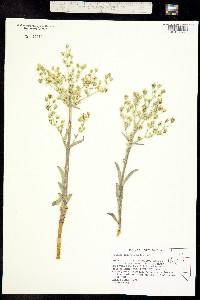 Image of Frasera puberulenta