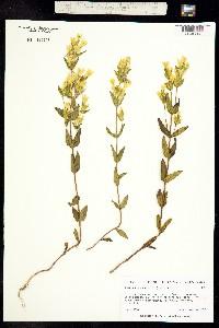 Gentianella wrightii image