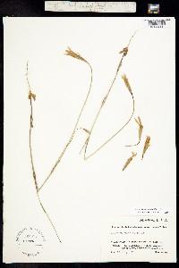 Image of Gentianopsis barbata