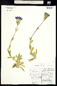 Gentiana plurisetosa image