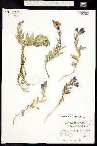 Pneumonanthe affinis image