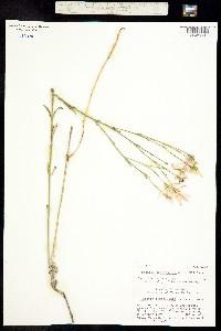 Image of Sabatia tuberculata