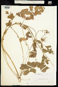 Erodium macrophyllum image