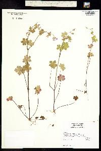 Geranium lucidum image