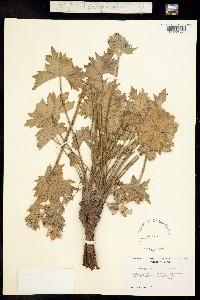 Geranium viscosissimum image