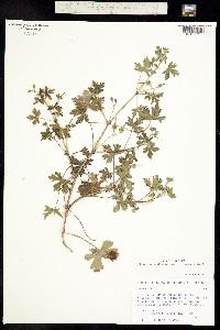 Geranium wislizeni image