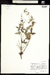 Image of Geranium durangense