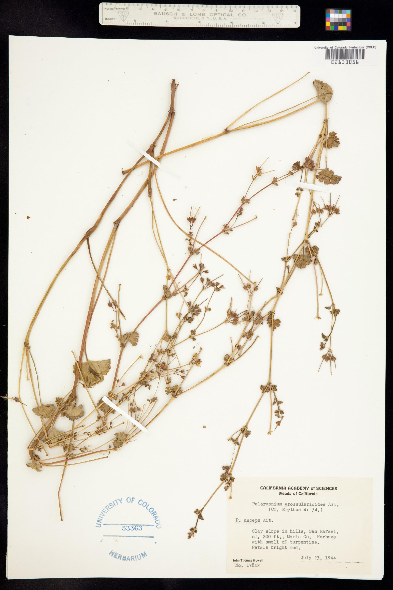 Pelargonium grossularioides image