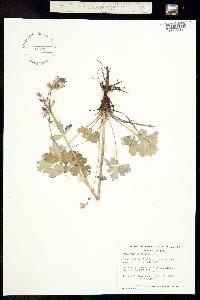 Aquilegia brevistyla image
