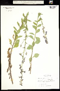 Image of Adenophora nikoensis