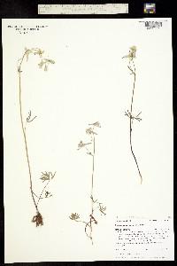 Delphinium carolinianum ssp. virescens image