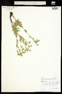 Potentilla gracilis var. fastigiata image