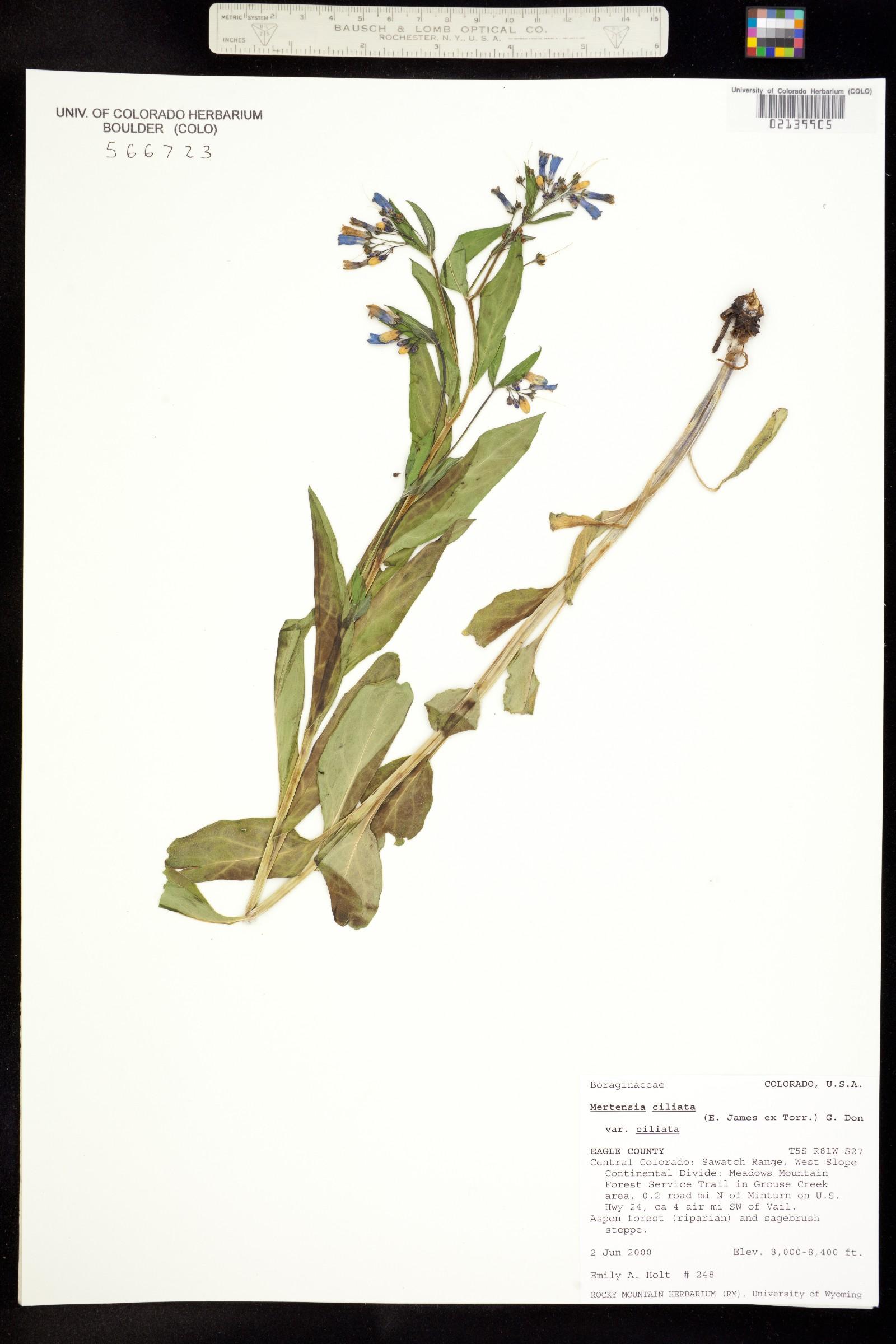 Mertensia ciliata var. ciliata image