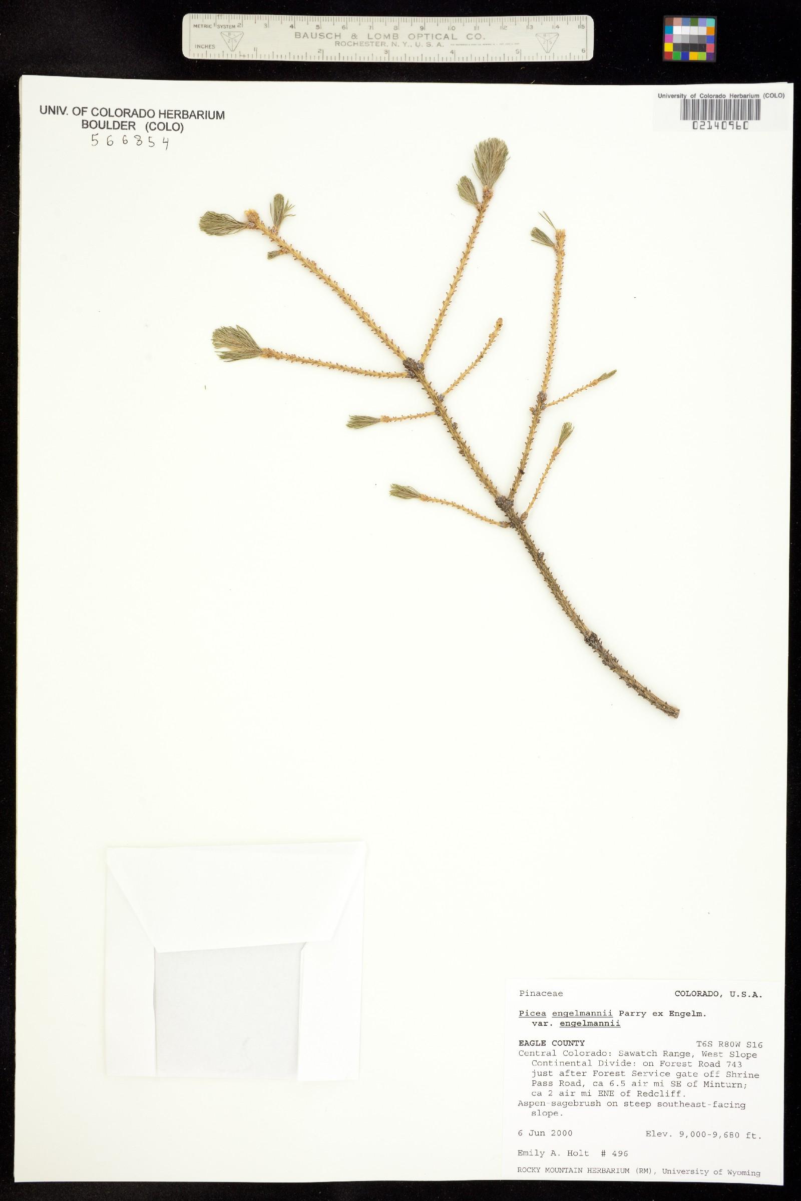 Picea engelmannii var. engelmannii image