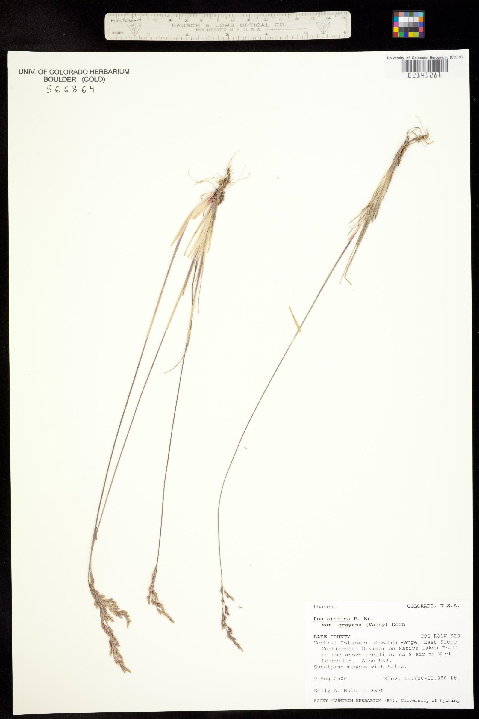 Poa arctica ssp. grayana image