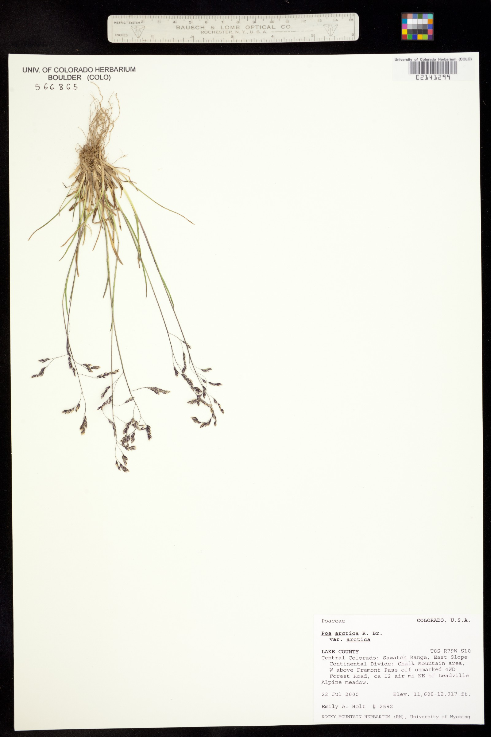Poa arctica ssp. arctica image