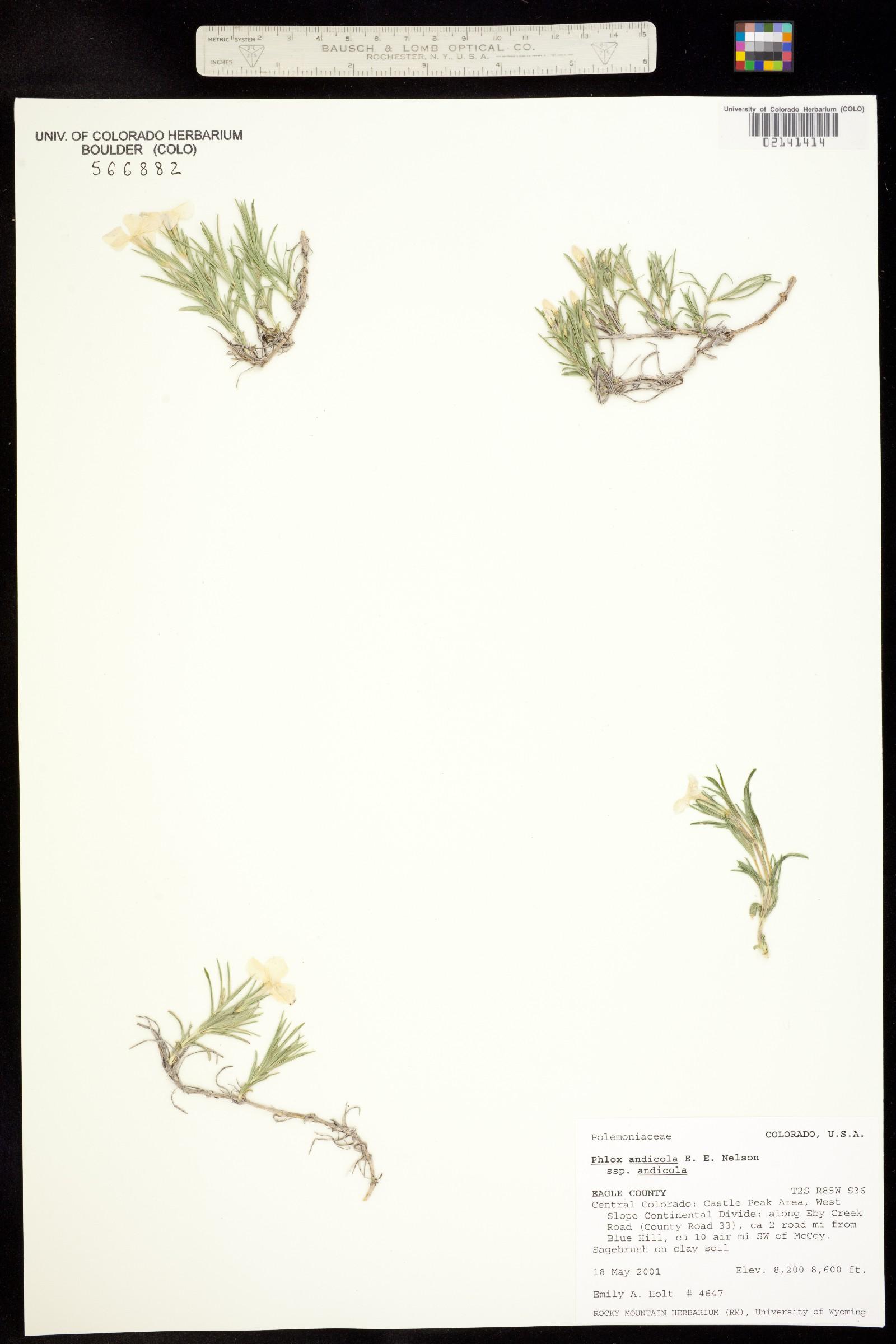 Phlox andicola ssp. andicola image