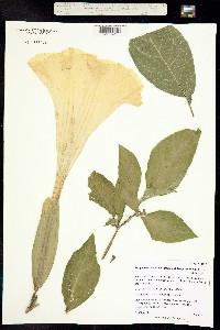 Image of Brugmansia suaveolens