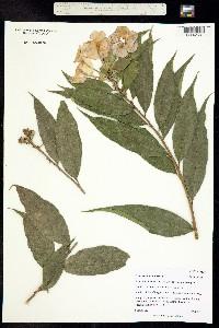 Image of Brunfelsia nitida