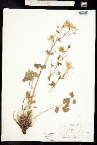 Aquilegia pubescens image