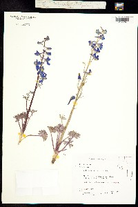 Delphinium andersonii image