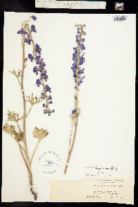 Delphinium hesperium image