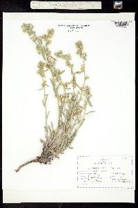 Oreocarya sericea image